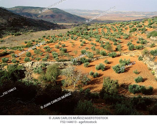 Olive grove in Alcaraz mountain range. Albacete province. Castilla-La Mancha, Spain