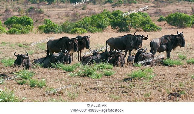 SMALL HERD OF WILDEBEEST; MAASAI MARA, KENYA, AFRICA; 03/09/2016