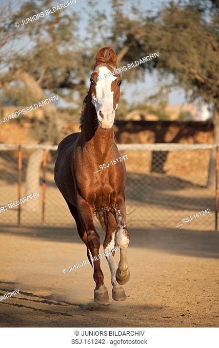 Kathiawari horse - galloping