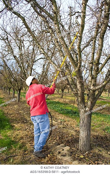 Agriculture - A field worker prunes a prune tree in early winter / Northern CA - Tehama County, nr. Corning