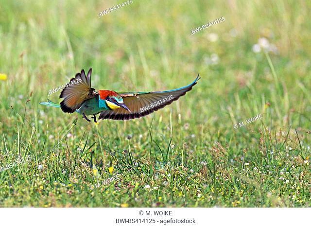 European bee eater (Merops apiaster), flying, landing on grass, Greece, Evrosdelta