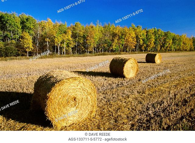 Agriculture - Round wheat straw bales in a harvested field with trees in Autumn foliage behind / Canada - Manitoba, Dugald