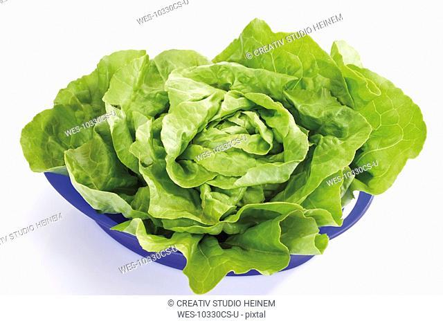 Lettuce Lactuca sativa var. capitata in plastic bowl, elevated view