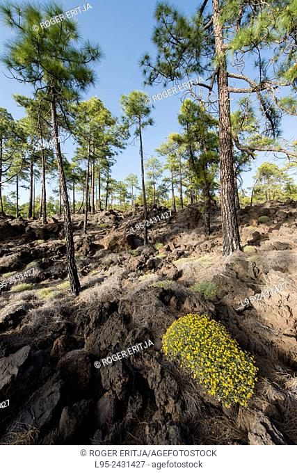 Canary pines growing over old lava debris in the Teide Natural park, Caanry Islands, Spain