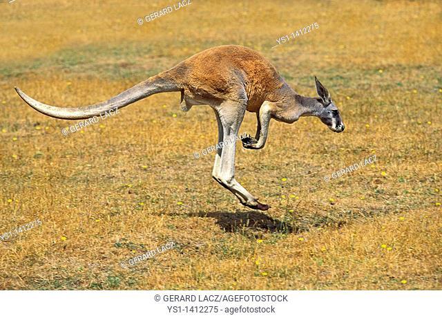 RED KANGAROO macropus rufus, MALE MOVING ON DRY GRASS, AUSTRALIA