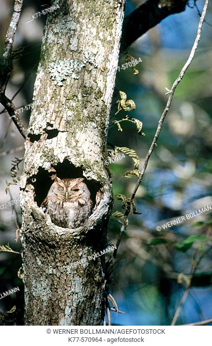 Eastern Screech-Owl (Megascops asio). Corkscrew swamp. Florida. USA