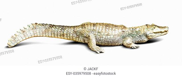 spectacled caiman (Caiman crocodilus), isolated on white