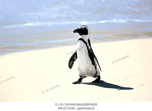 Jackass Penguin, African Penguin or Black-Footed Penguin (Spheniscus demersus), on the beach, Boulder, Simon's Town, Western Cape, South Africa, Africa