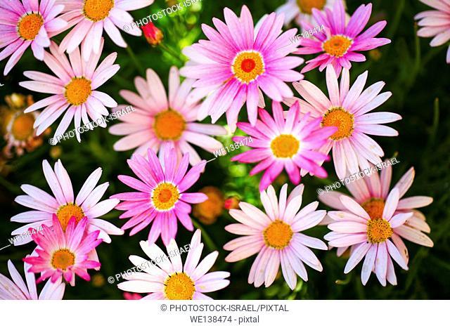 flowering garden. Blooming pink Gerbera flowers