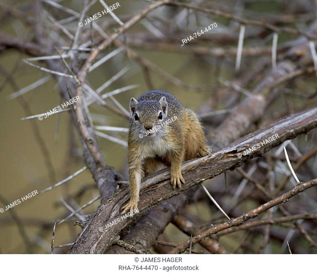 Tree Squirrel (Smiths Bush Squirrel) (Yellow-Footed Squirrel) (Paraxerus cepapi), Kruger National Park, South Africa, Africa