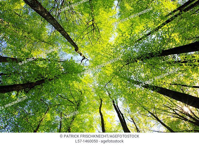 beech, beech tree, Buche, Rotbuche, Fagus sylvaticia L ,Switzerland