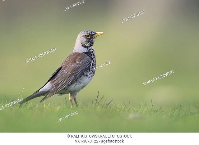Fieldfare ( Turdus pilaris ) in breeding dress, standing on the ground, grass, watching attentive, low point of view, wildlife, Europe