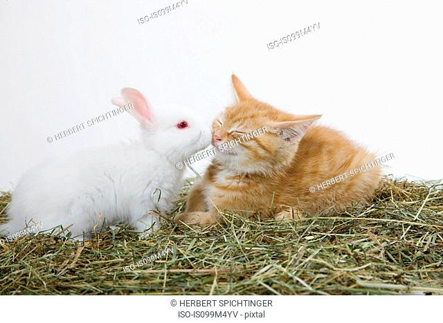 Ginger kitten and rabbit