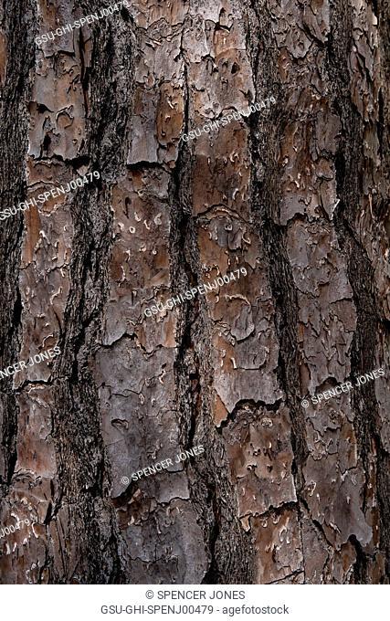 Pine Tree Bark, Detail