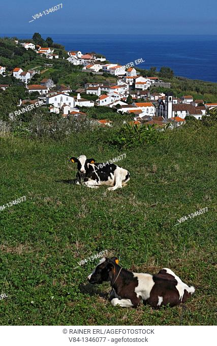 Calves with Santo Antonio in the Background / Sao Miguel Island / Azores / Portugal