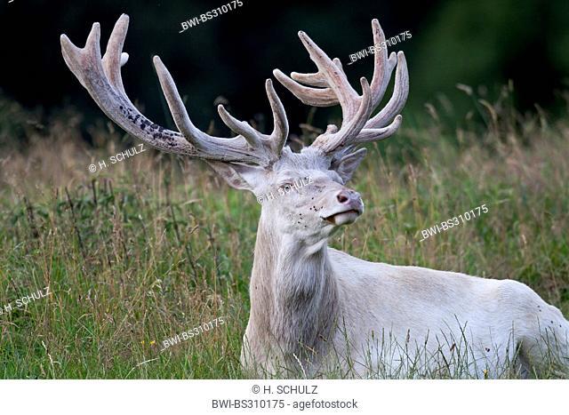 red deer (Cervus elaphus), hart with velvet antler, Denmark