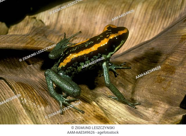 Poison Arrow Frog Black & Orange Stripe (Phyllobates vittatus)