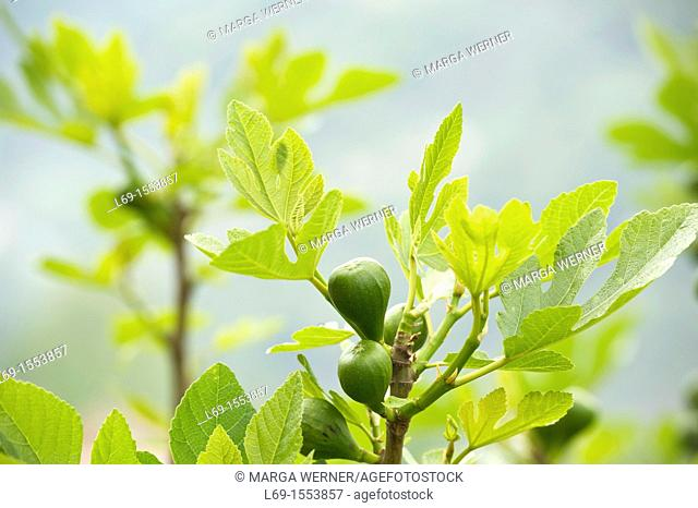 Branch of a fig tree with fruit, Las Alpujarras, Andalusia, Spain, Europe