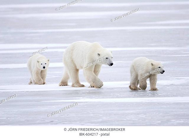 Polar Bear (Ursus maritimus) mother and two cubs born this year walking over ice, Churchill, Manitoba, Canada