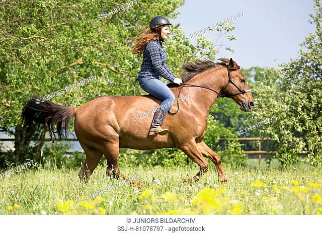 Missouri Fox Trotter. Red-haired young woman on chestnut gelding glloping on a pasture. Switzerland