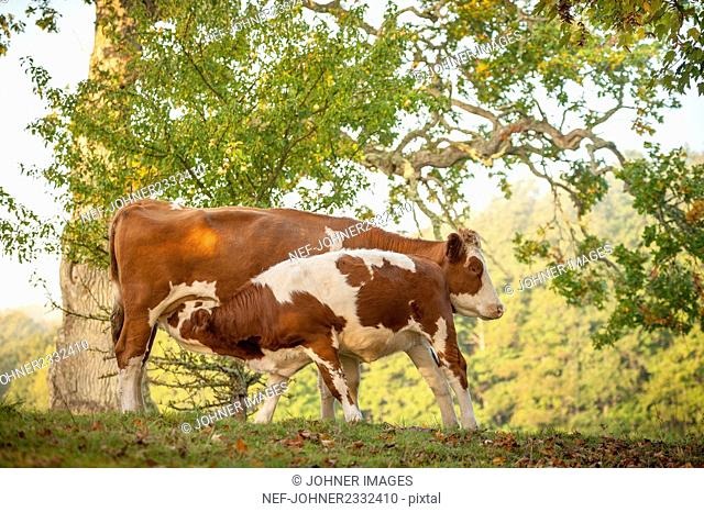 Cow with calf on pasture