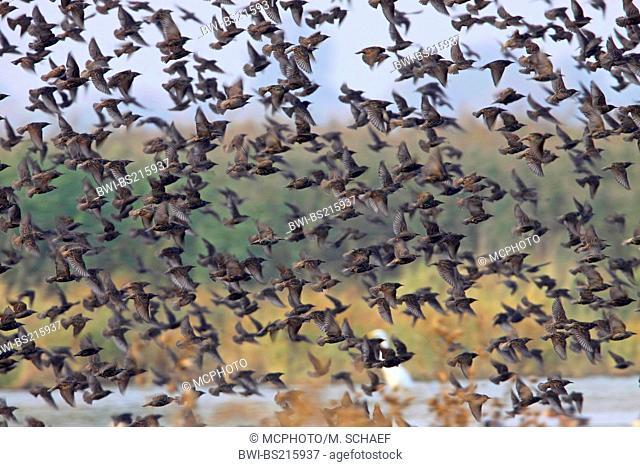 common starling (Sturnus vulgaris), flying flock, Germany, Rhineland-Palatinate