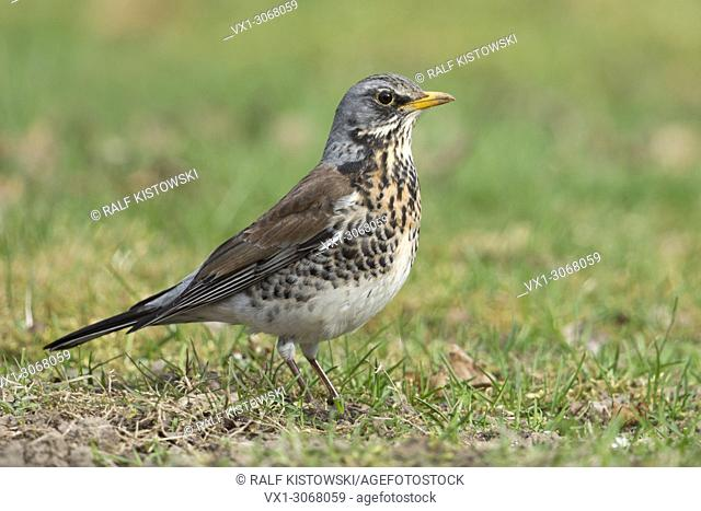 Fieldfare ( Turdus pilaris ), adult in breeding dress, perched on the ground, in a meadow, grass, wildlife, Europe