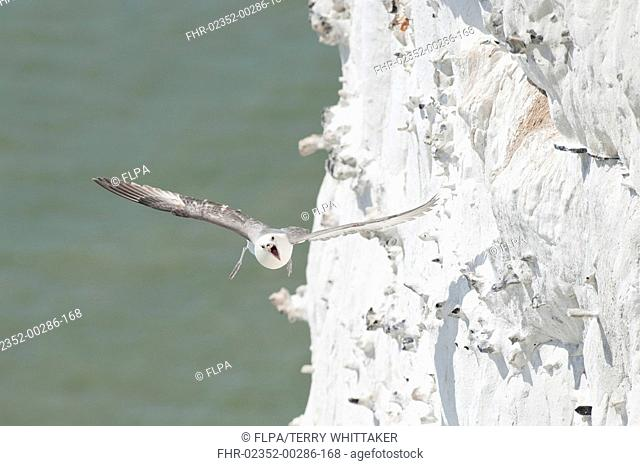 Northern Fulmar Fulmaris glacialis adult, calling in flight, near chalk cliffs, Dover, Kent, England, may