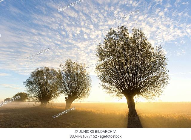 White Willow (Salix alba). Willows in sunrise, Lower Saxony, Germany
