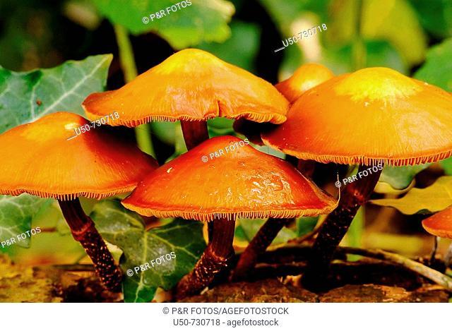 Pholiota mutabilis, Agaricales, Strophariaceae, Basidiomycetes