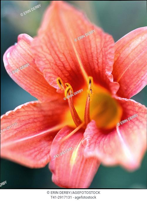 Day Lily 1