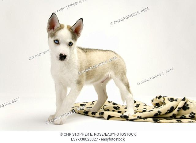 A very cute young Husky dog puppy with piercing blue eyes looking at the camera