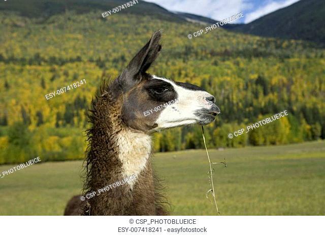 Profile of a Llama