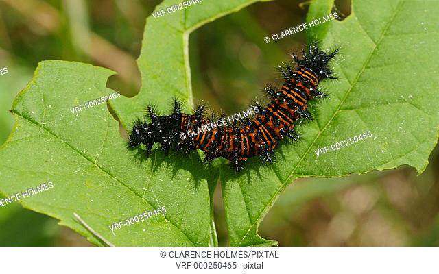 A Baltimore Checkerspot (Euphydryas phaeton) caterpillar feeds on vegetation in spring