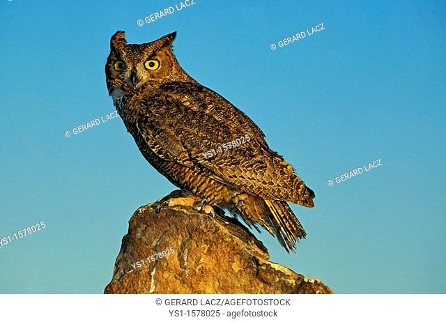 Great Horned Owl, bubo virginianus, Adult standing on Rock against Blue Sky