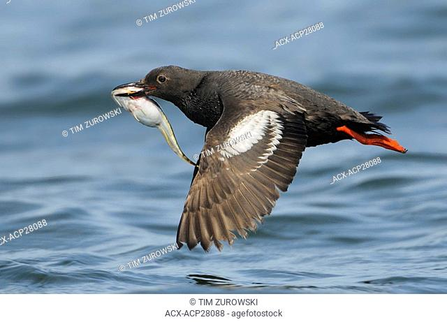 Pigeon Guillemot in flight with fish, Westport WA