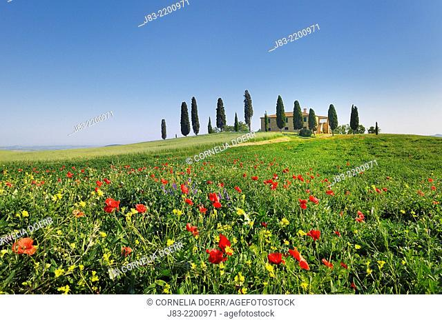 Red Poppies in front of tuscan Farmhouse with typical cypress trees, Val d'Orcia, Orcia Valley, Pienza, Tuscany Landscape, UNESCO world heritage site