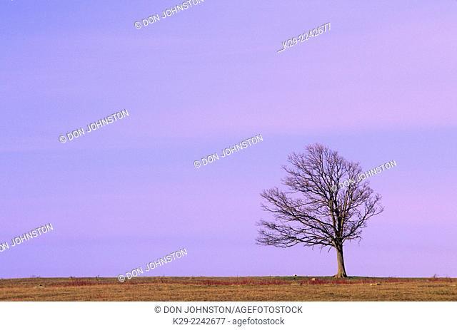Solitary oak tree, Sheguiandah, Ontario, Canada