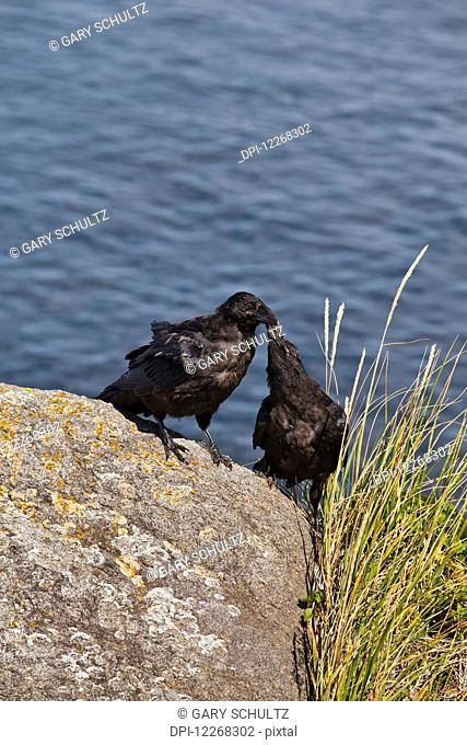 Common raven (Corvus corax) pair standing on lichen-covered boulder, courting, Walrus Islands State Game Sanctuary, Round Island, Bristol Bay, Western Alaska