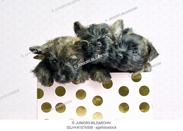 Cairn-Terrier. Three puppies (6 weeks old) in a box. Studio picture. Germany