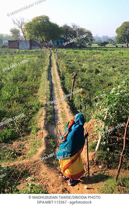 Old lady walking on pathway in wheat crop field ; Agra ; Uttar Pradesh ; India