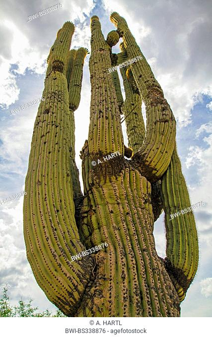 saguaro cactus (Carnegiea gigantea, Cereus giganteus), 200 years old individual, USA, Arizona, Phoenix