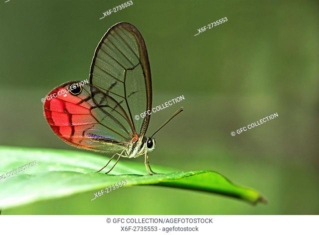 Clearwing butterfly (Cithaerias pireta), Family of Brush-footed butterflies (Nymphalidae), Amazon rainforest, Canande River Reserve, Choco forest, Ecuador