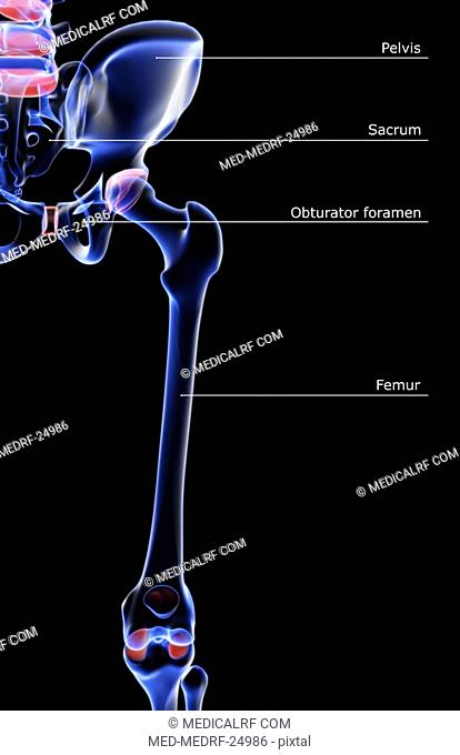 The bones of the hip and lower limb