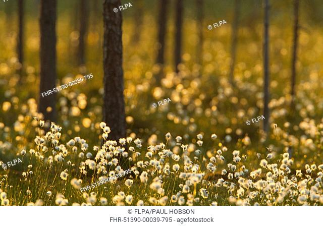 Cotton-grass Eriophorum sp flowering, growing in boreal forest, backlit at dusk, Finland, june