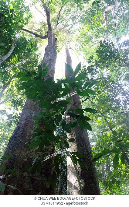 Tree and roots. Image taken at Gunung Gading National Parks, Lundu, Sarawak, Malaysia