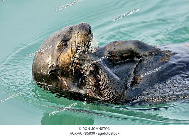 Sea otter (Enhydra lutris) Loafing and preening after feeding, Morro Bay, California, USA