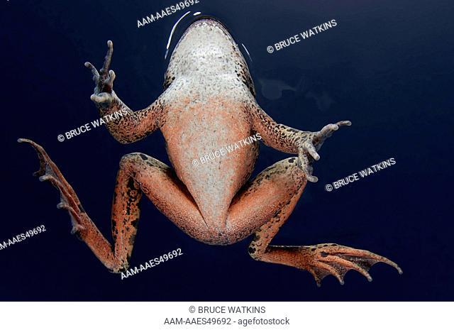 California Red-legged Frog (Rana draytonii) - (formally Rana aurora draytonii), Sunol Regional Wilderness, Alameda County, California, USA