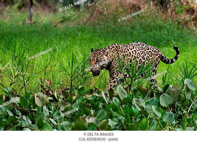 Jaguar (Panthera onca) in wetland by Cuiaba river, Pantanal, Mato Grosso, Brazil