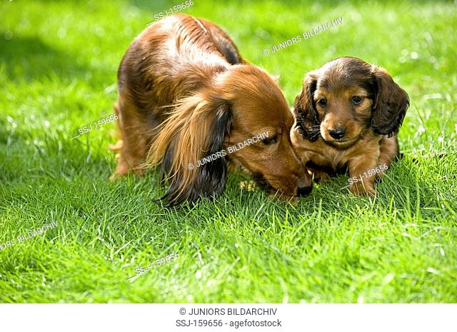 dwarf long-haired dachshund and puppy on meadow